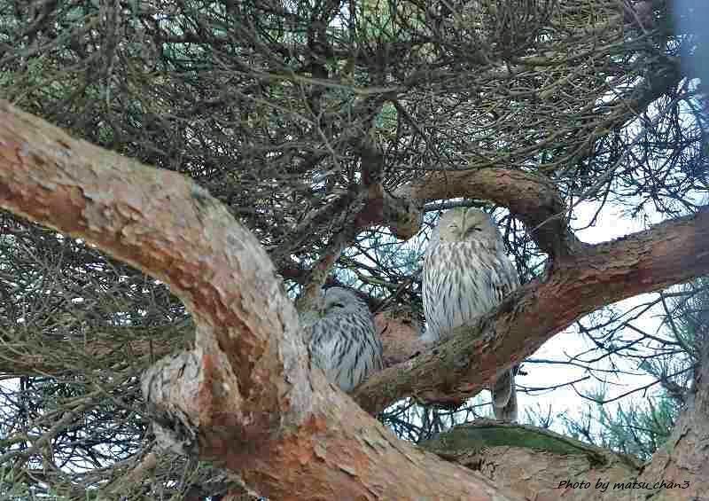 エゾフクロウ Ural Owl_c0070654_12333051.jpg