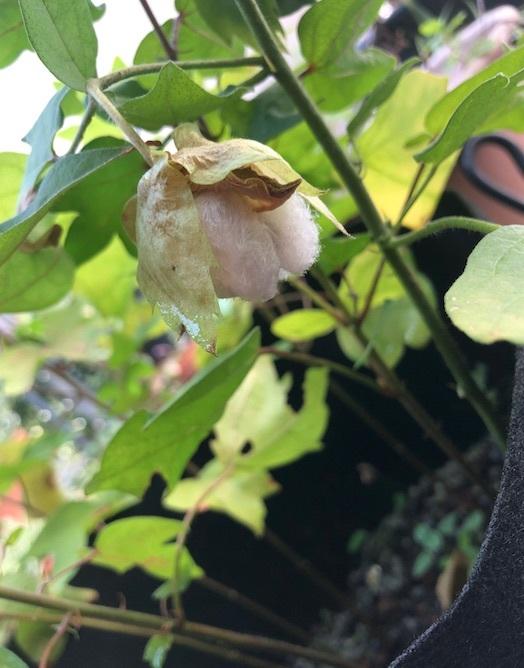 棉を収穫しました_b0087556_23341900.jpg