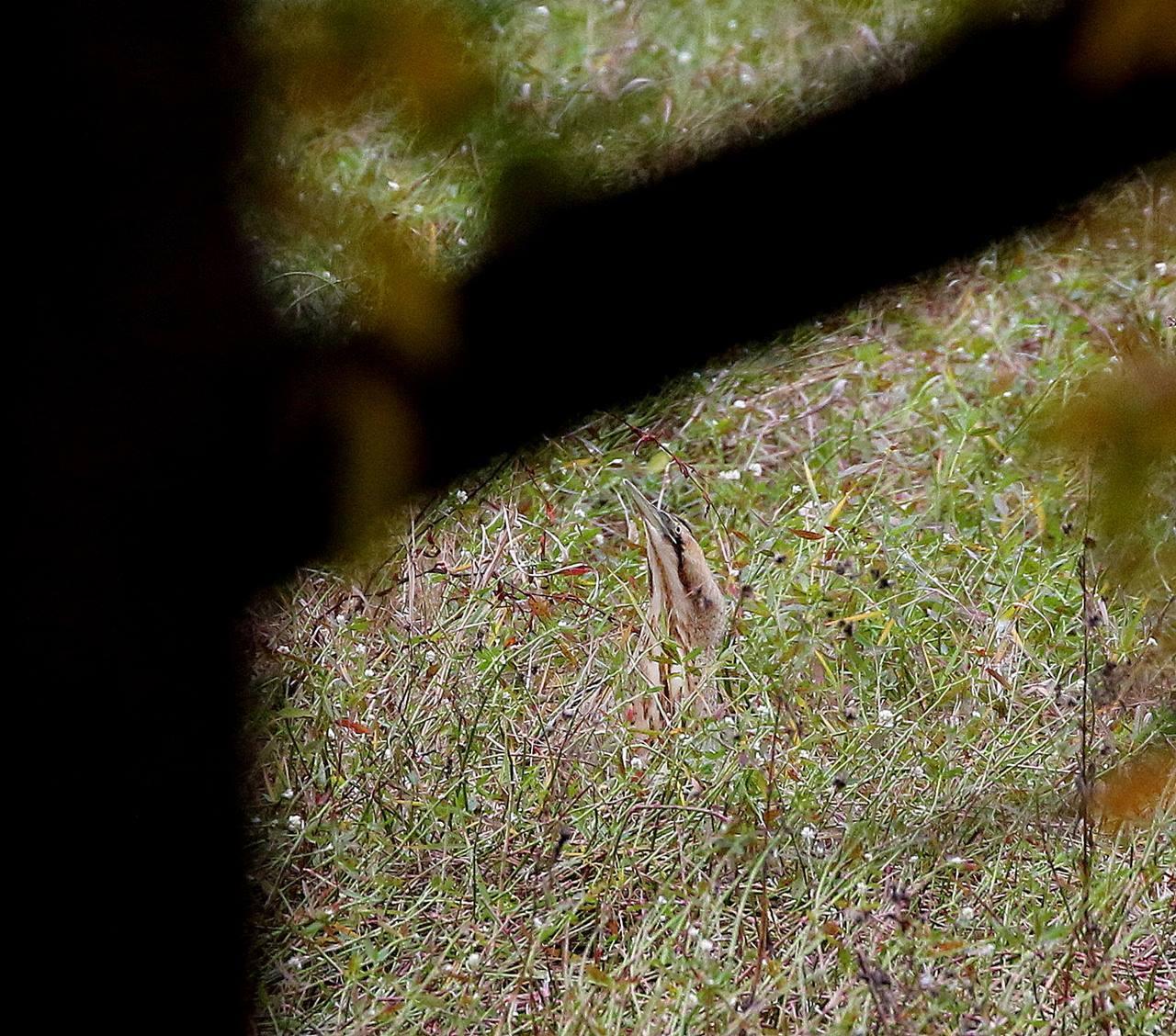 珍しいサンカノゴイがやって来た・・・_c0213607_00324483.jpg