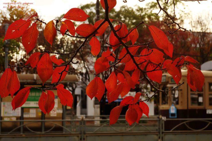 桜の紅い葉_d0309612_00310246.jpg