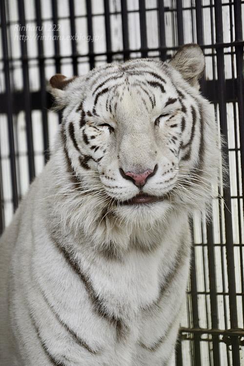 2019.11.30 東北サファリパーク☆ホワイトタイガーのマリンくん【White tiger】_f0250322_2110034.jpg
