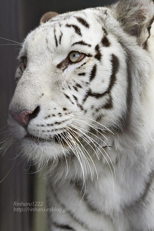 2019.11.30 東北サファリパーク☆ホワイトタイガーのマリンくん【White tiger】_f0250322_2110156.jpg