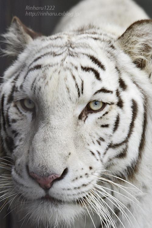 2019.11.30 東北サファリパーク☆ホワイトタイガーのマリンくん【White tiger】_f0250322_2110227.jpg
