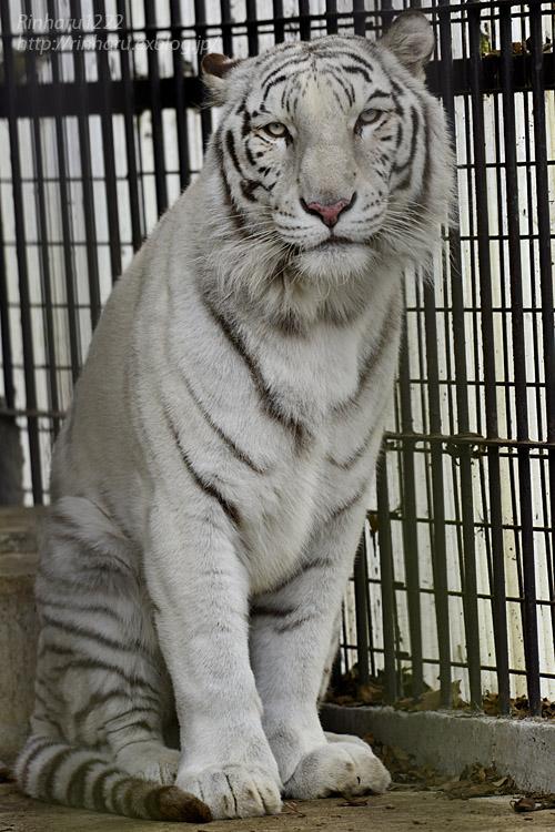 2019.11.30 東北サファリパーク☆ホワイトタイガーのマリンくん【White tiger】_f0250322_2110891.jpg