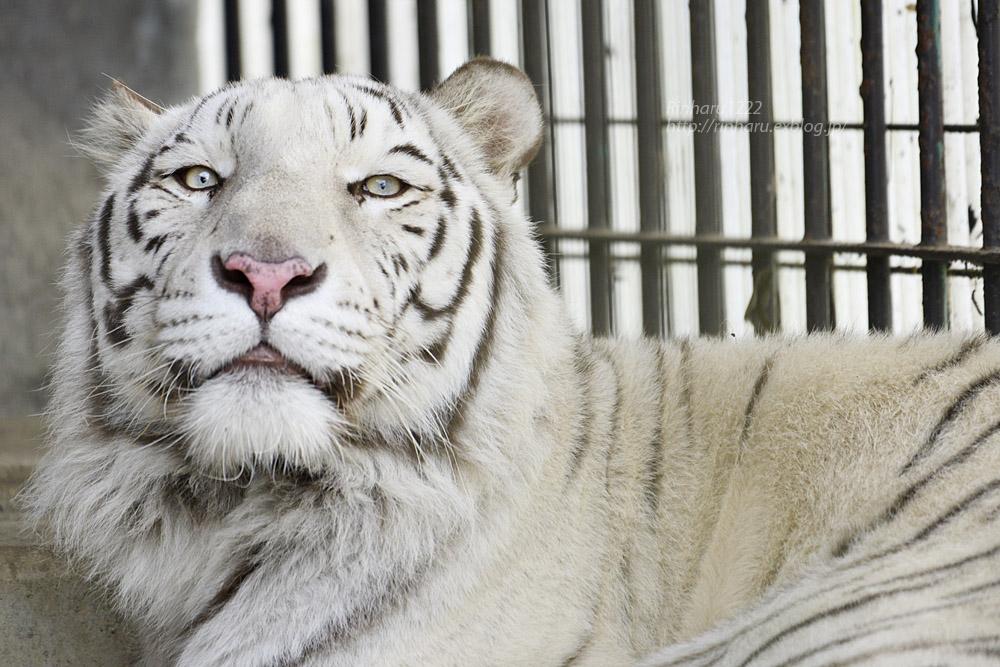 2019.11.30 東北サファリパーク☆ホワイトタイガーのマリンくん【White tiger】_f0250322_2191189.jpg