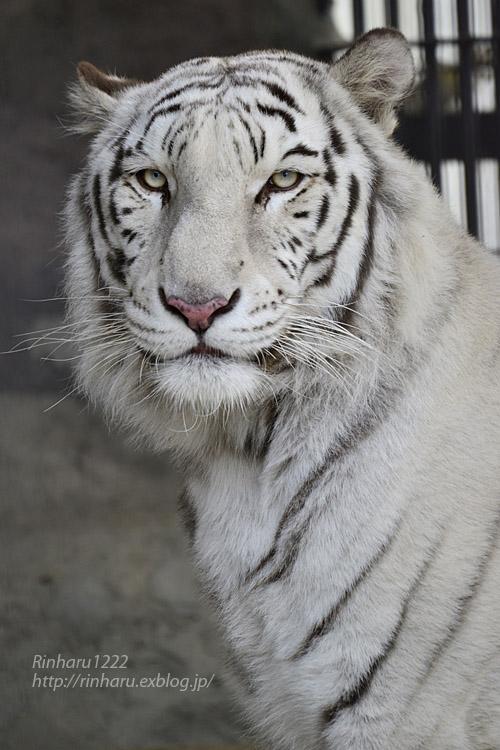 2019.11.30 東北サファリパーク☆ホワイトタイガーのマリンくん【White tiger】_f0250322_2193748.jpg
