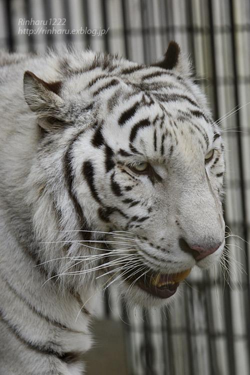 2019.11.30 東北サファリパーク☆ホワイトタイガーのマリンくん【White tiger】_f0250322_219416.jpg