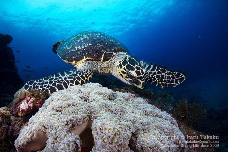 ウミガメの生態と放流について思うこと 〜2020年の営業のお知らせ〜 _b0186442_21180308.jpg