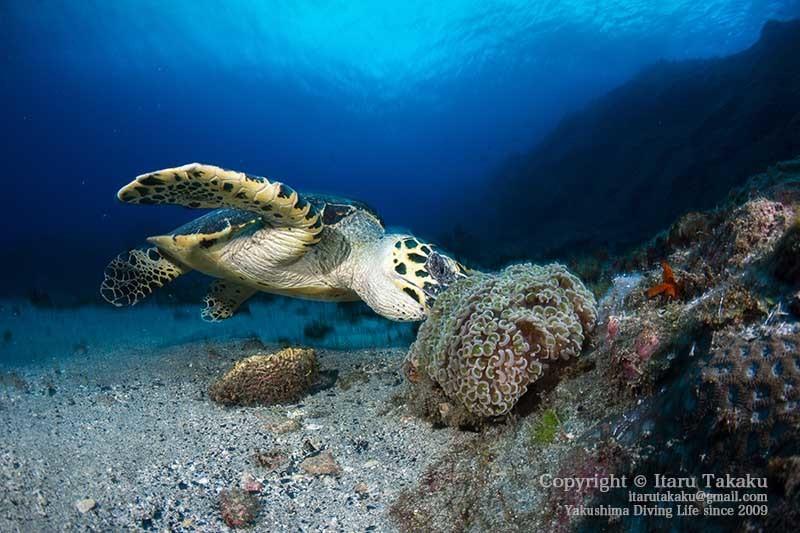 ウミガメの生態と放流について思うこと 〜2020年の営業のお知らせ〜 _b0186442_21180382.jpg
