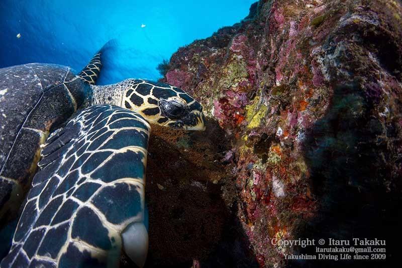ウミガメの生態と放流について思うこと 〜2020年の営業のお知らせ〜 _b0186442_21180411.jpg