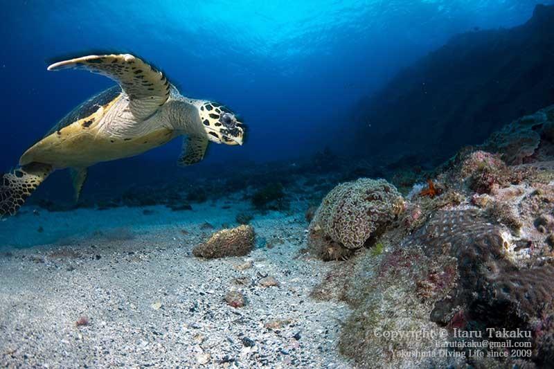 ウミガメの生態と放流について思うこと 〜2020年の営業のお知らせ〜 _b0186442_21180418.jpg