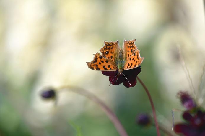 秋型のキタテハは形がシャープでも色合いは暖かです。_d0149245_16504442.jpg