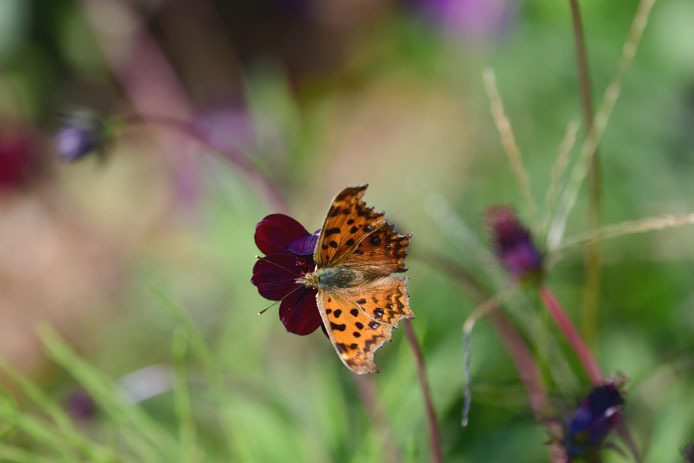秋型のキタテハは形がシャープでも色合いは暖かです。_d0149245_16504646.jpg