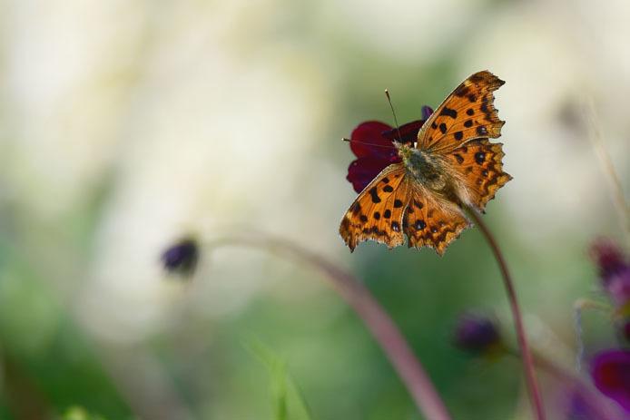 秋型のキタテハは形がシャープでも色合いは暖かです。_d0149245_16504784.jpg