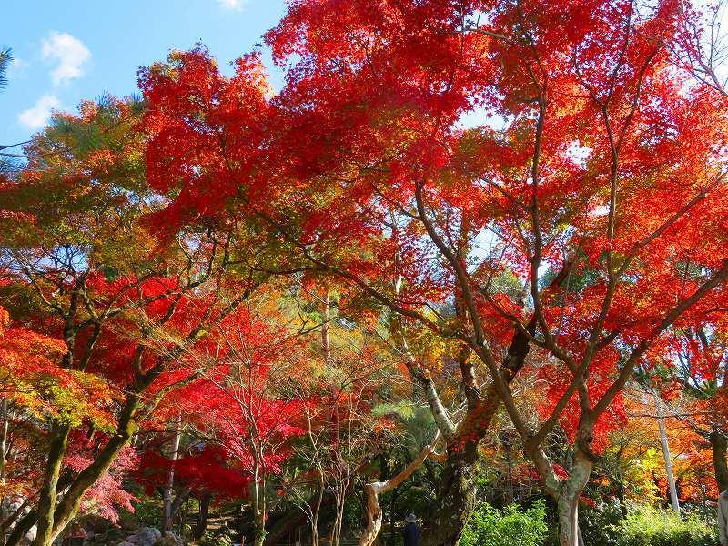 円山公園の紅葉20191129_e0237645_10592647.jpg