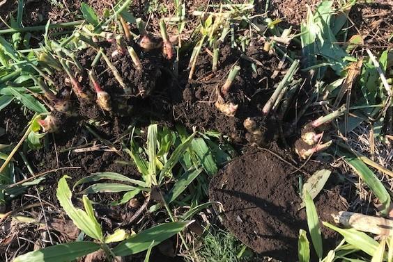 種用のショウガ収穫、レッドムーン試し掘り11・29_c0014967_08385458.jpg