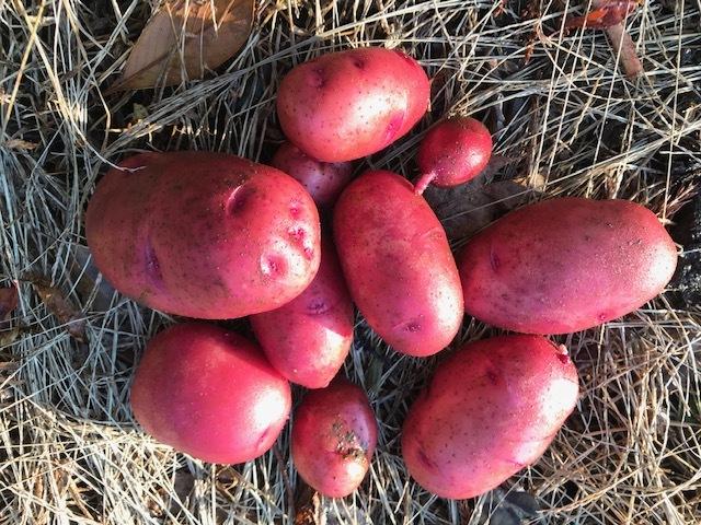 種用のショウガ収穫、レッドムーン試し掘り11・29_c0014967_08390719.jpg