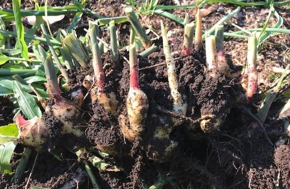 種用のショウガ収穫、レッドムーン試し掘り11・29_c0014967_08392564.jpg