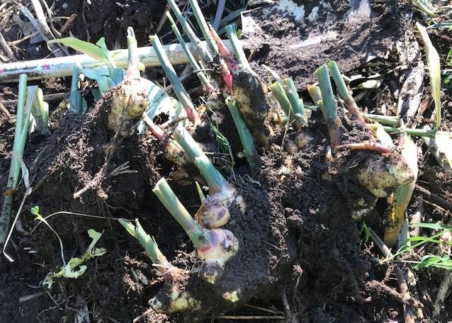 種用のショウガ収穫、レッドムーン試し掘り11・29_c0014967_08404651.jpg