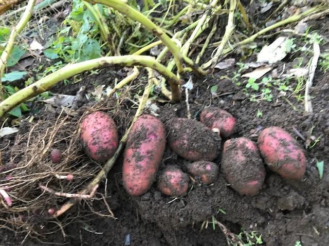 種用のショウガ収穫、レッドムーン試し掘り11・29_c0014967_08414525.jpg