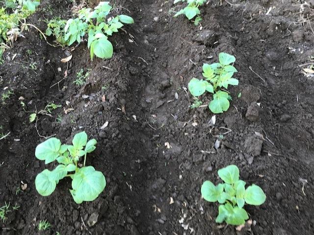 種用のショウガ収穫、レッドムーン試し掘り11・29_c0014967_08420601.jpg
