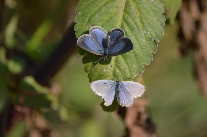 ヤマトシジミ青♀ 12月1日_d0254540_18240525.jpg
