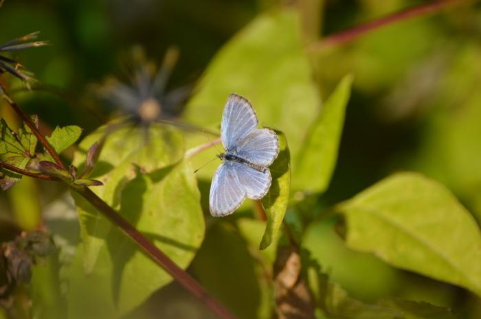 ヤマトシジミ青♀ 12月1日_d0254540_18253656.jpg