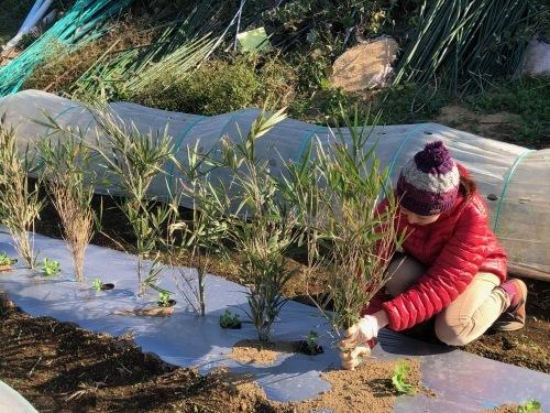 今朝はエンドウ豆の弦が巻き付く笹を切って来て刺す作業です_c0222448_11360981.jpg