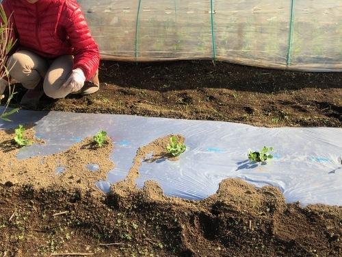 今朝はエンドウ豆の弦が巻き付く笹を切って来て刺す作業です_c0222448_11362134.jpg