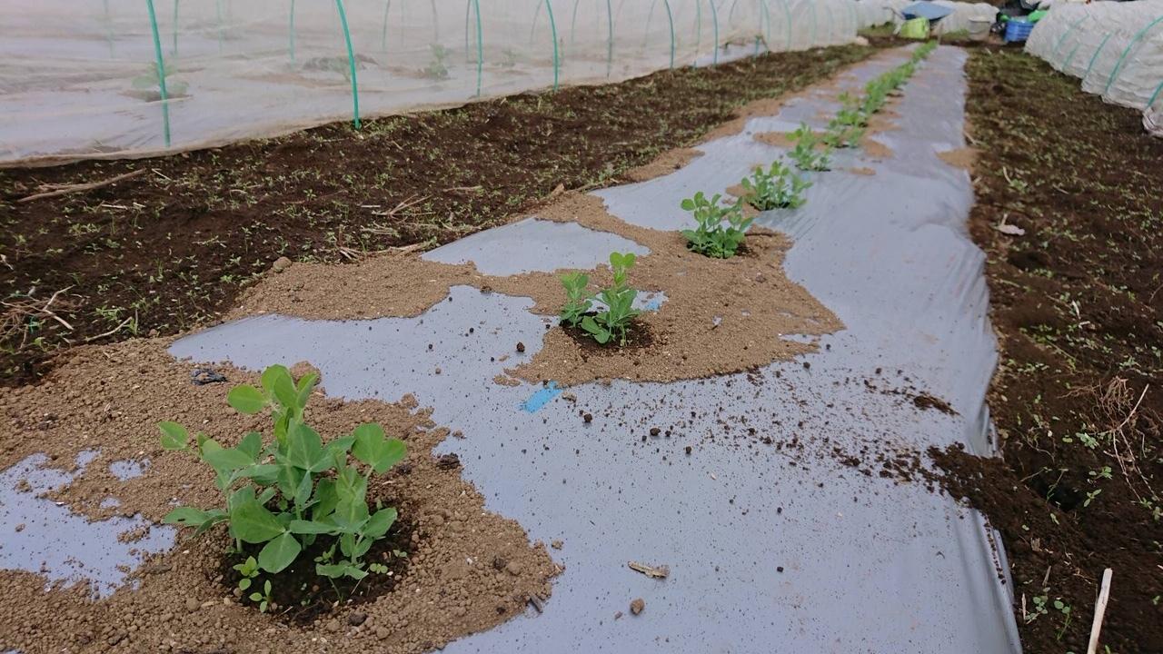 今朝はエンドウ豆の弦が巻き付く笹を切って来て刺す作業です_c0222448_11495497.jpg
