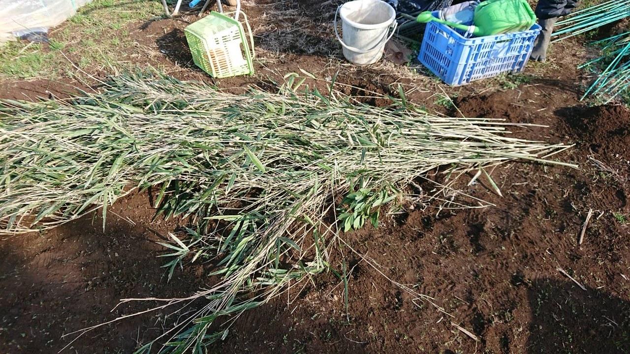 今朝はエンドウ豆の弦が巻き付く笹を切って来て刺す作業です_c0222448_11500409.jpg