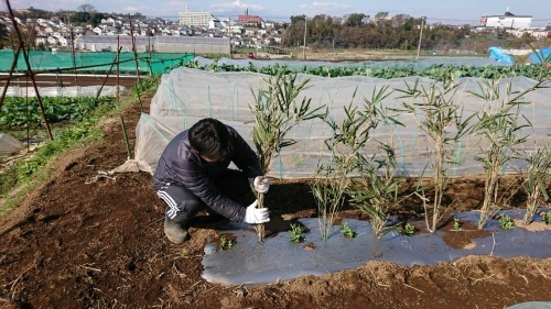 今朝はエンドウ豆の弦が巻き付く笹を切って来て刺す作業です_c0222448_11501560.jpg
