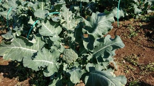 今朝はエンドウ豆の弦が巻き付く笹を切って来て刺す作業です_c0222448_11545139.jpg