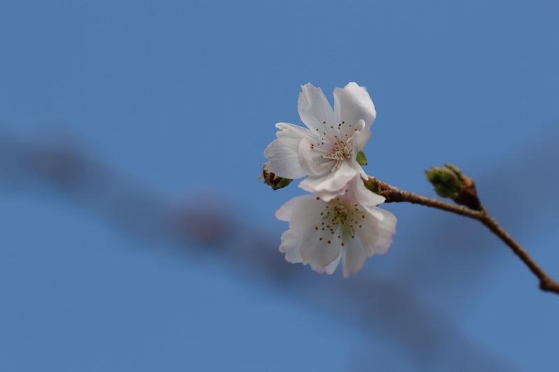 十月桜_c0155950_22553707.jpg