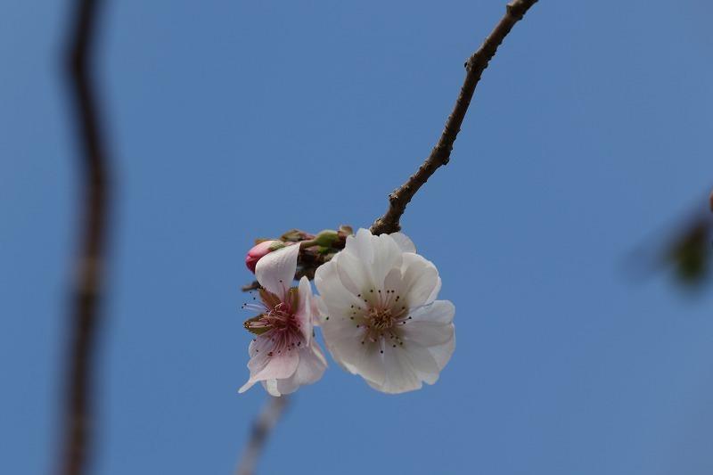十月桜_c0155950_22554091.jpg