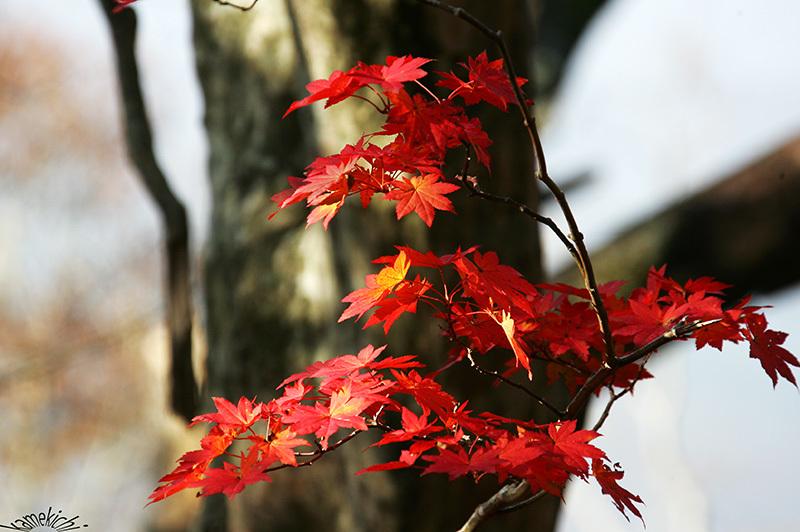 過年撮影の紅葉!(いずれも熊本地震前の撮影です。) _a0057752_10314565.jpg