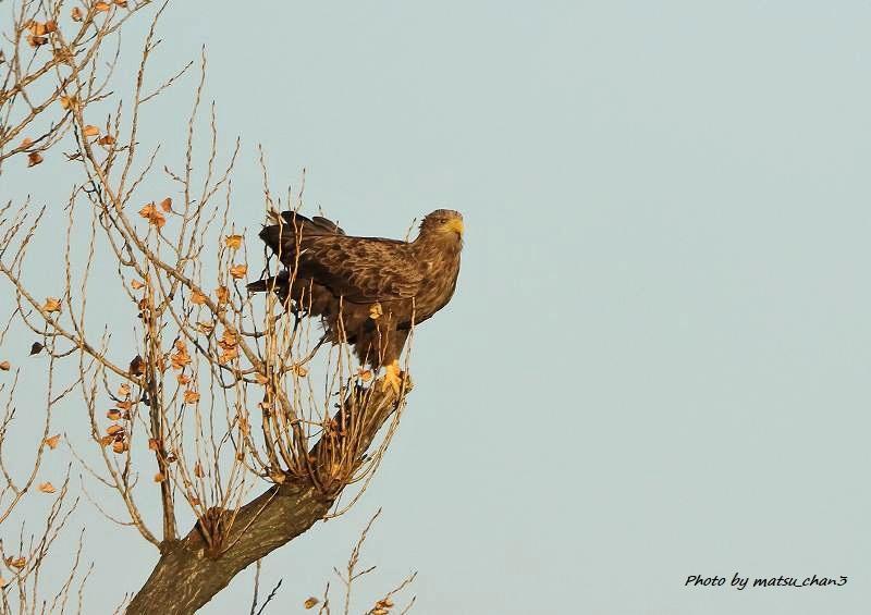 オジロワシ White-tailed Eagle_c0070654_19300622.jpg