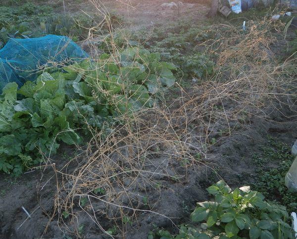 サヤエンドウの植え付けと支柱立て_f0018078_17182939.jpg