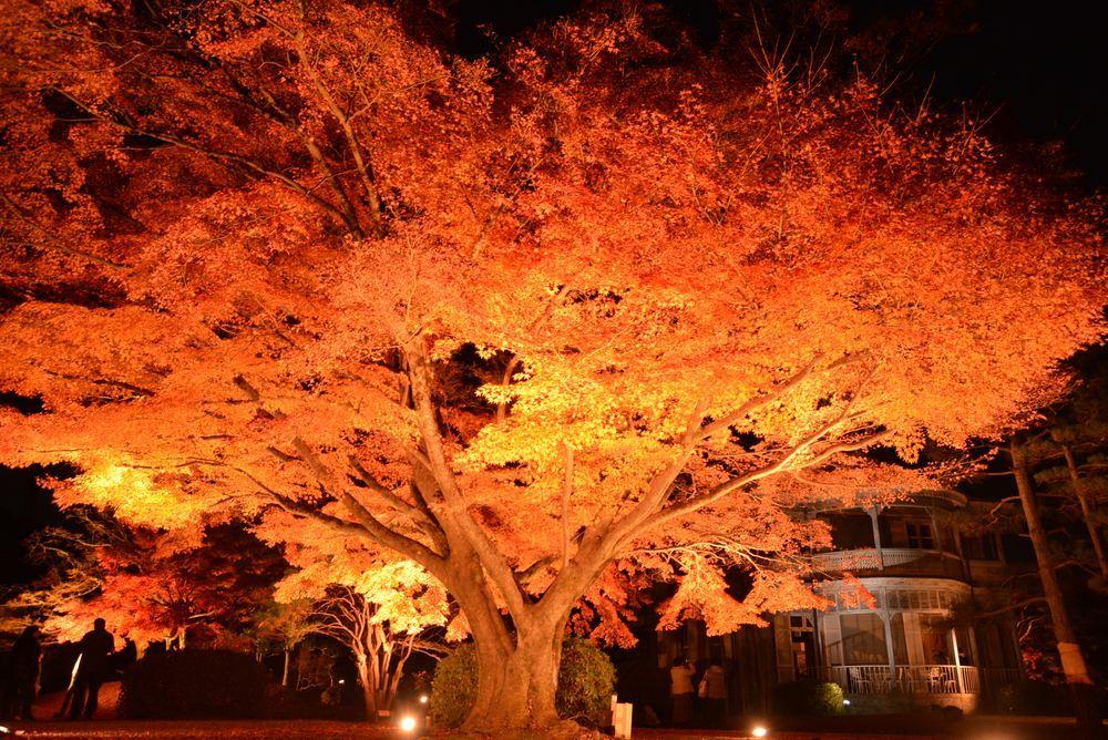 1丁目の夜間公開延長 楓の巨木_e0373930_20464544.jpg