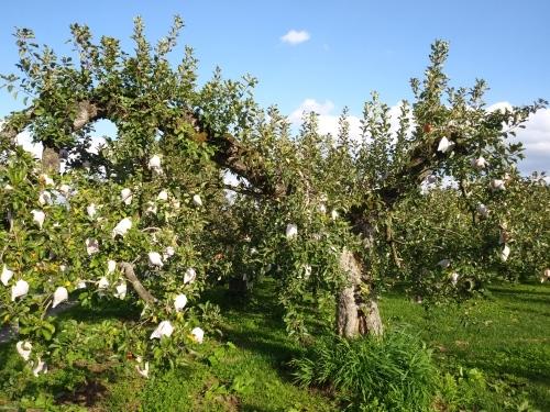Cha@iのりんごは盛岡の山口農園さんのりんごです。_d0007735_10173588.jpg
