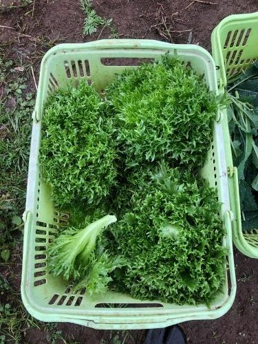 今朝は土砂降りでしたが レタス からし菜 カーヴォロネーロ 人参 順調に収穫です_c0222448_11102846.jpg