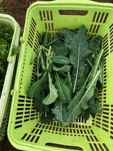 今朝は土砂降りでしたが レタス からし菜 カーヴォロネーロ 人参 順調に収穫です_c0222448_11103940.jpg