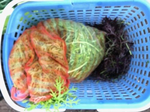 今朝は土砂降りでしたが レタス からし菜 カーヴォロネーロ 人参 順調に収穫です_c0222448_11105551.jpg