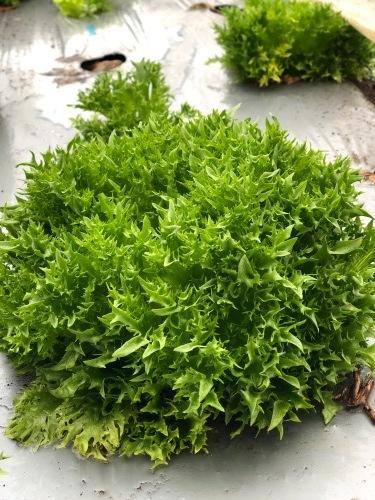 今朝は土砂降りでしたが レタス からし菜 カーヴォロネーロ 人参 順調に収穫です_c0222448_11111728.jpg