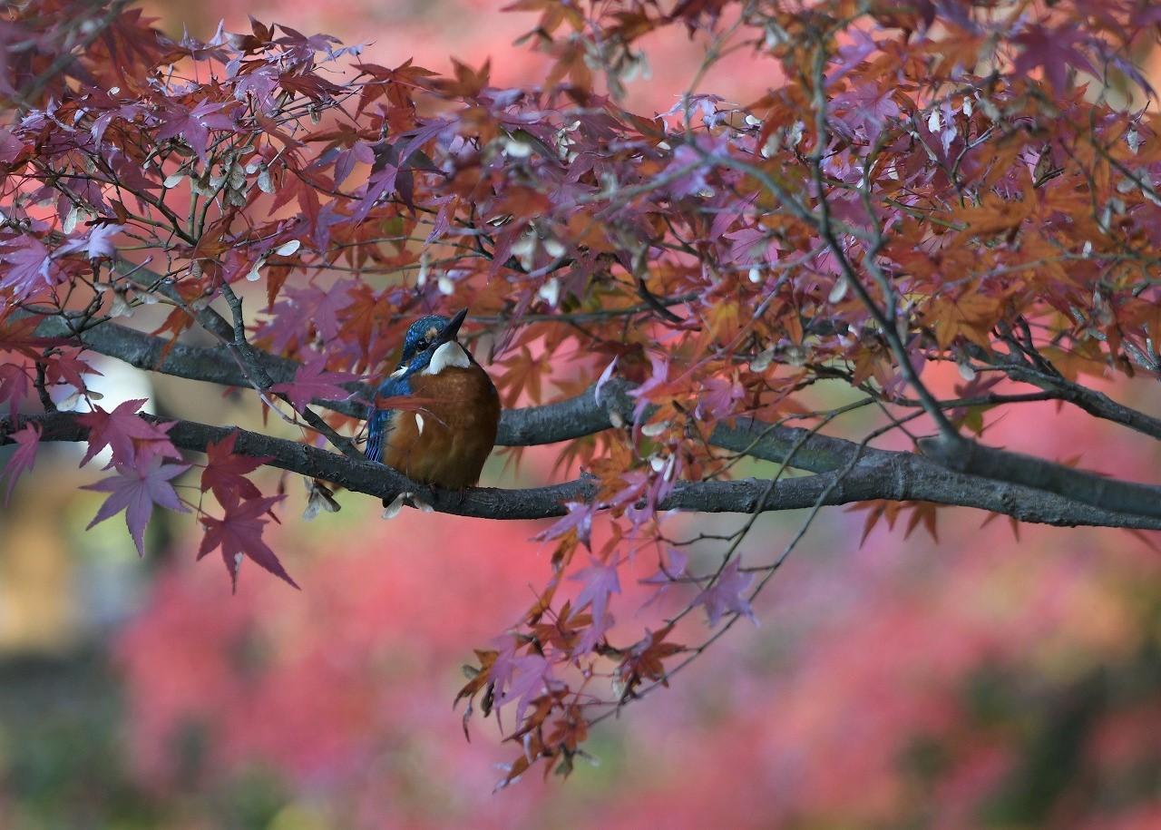 紅葉の中のカワセミ3_c0233349_16232744.jpg