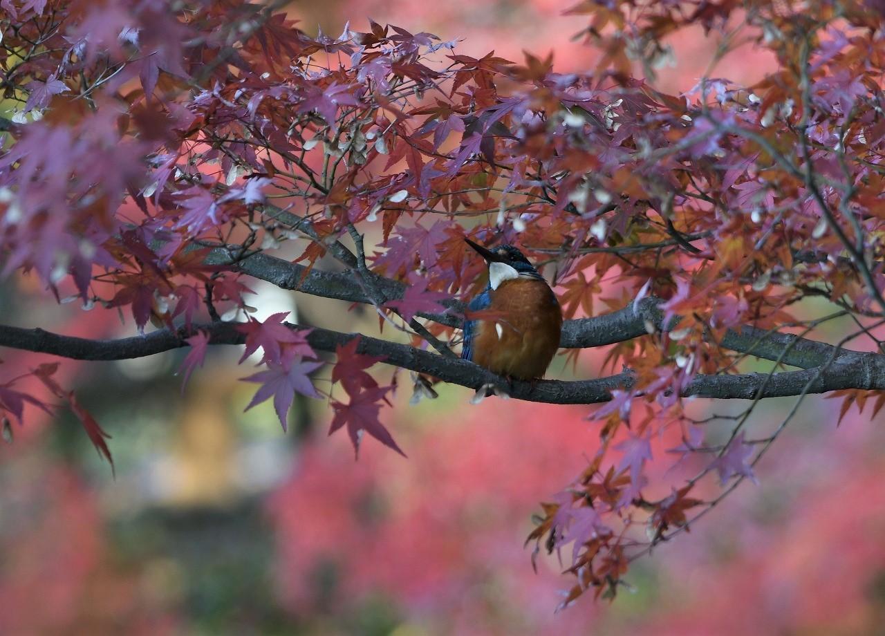 紅葉の中のカワセミ3_c0233349_16233589.jpg