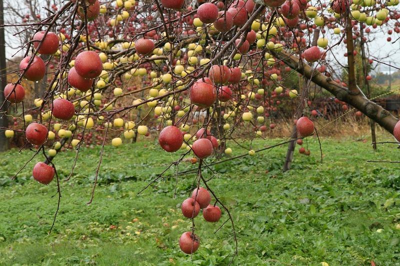 リンゴ園_c0155950_23242388.jpg