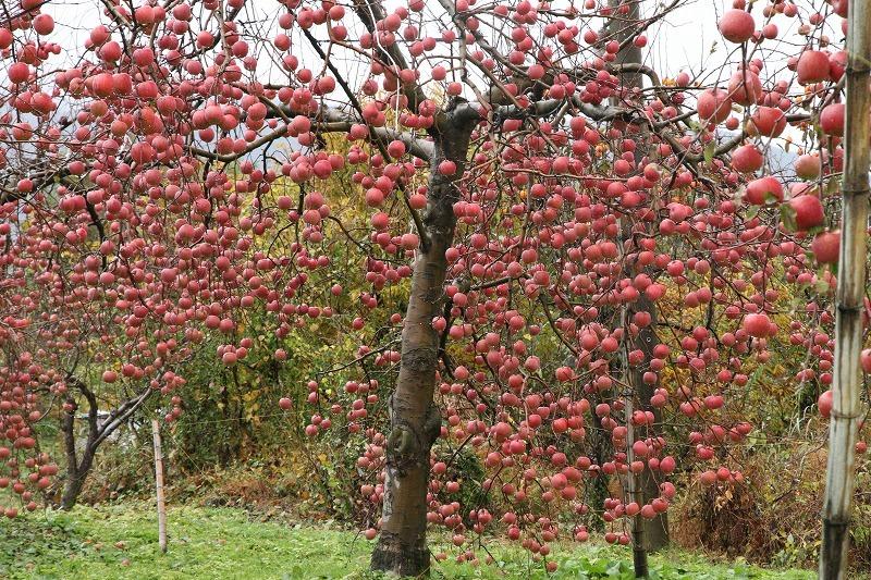 リンゴ園_c0155950_23242487.jpg