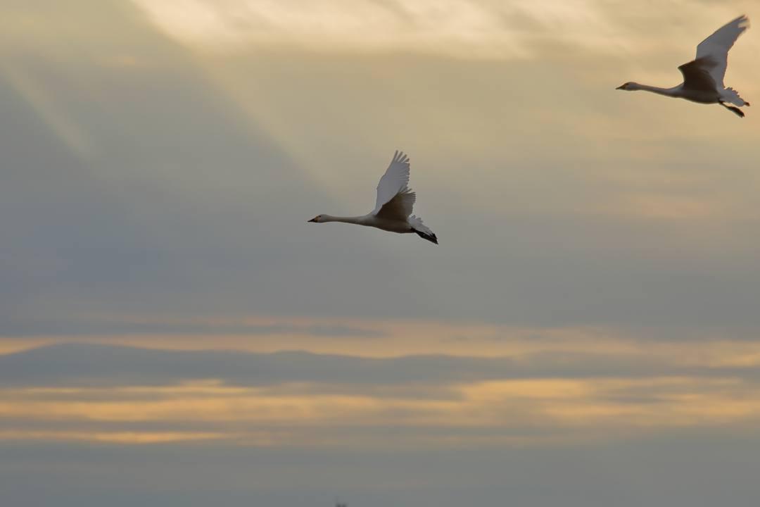 白鳥総集編2019~2020 その3_e0403850_20325828.jpg