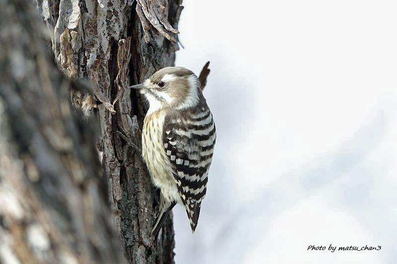 カシラダカ・コゲラ Rustic Bunting  & Japanese Pygmy Woodpecker_c0070654_20332997.jpg